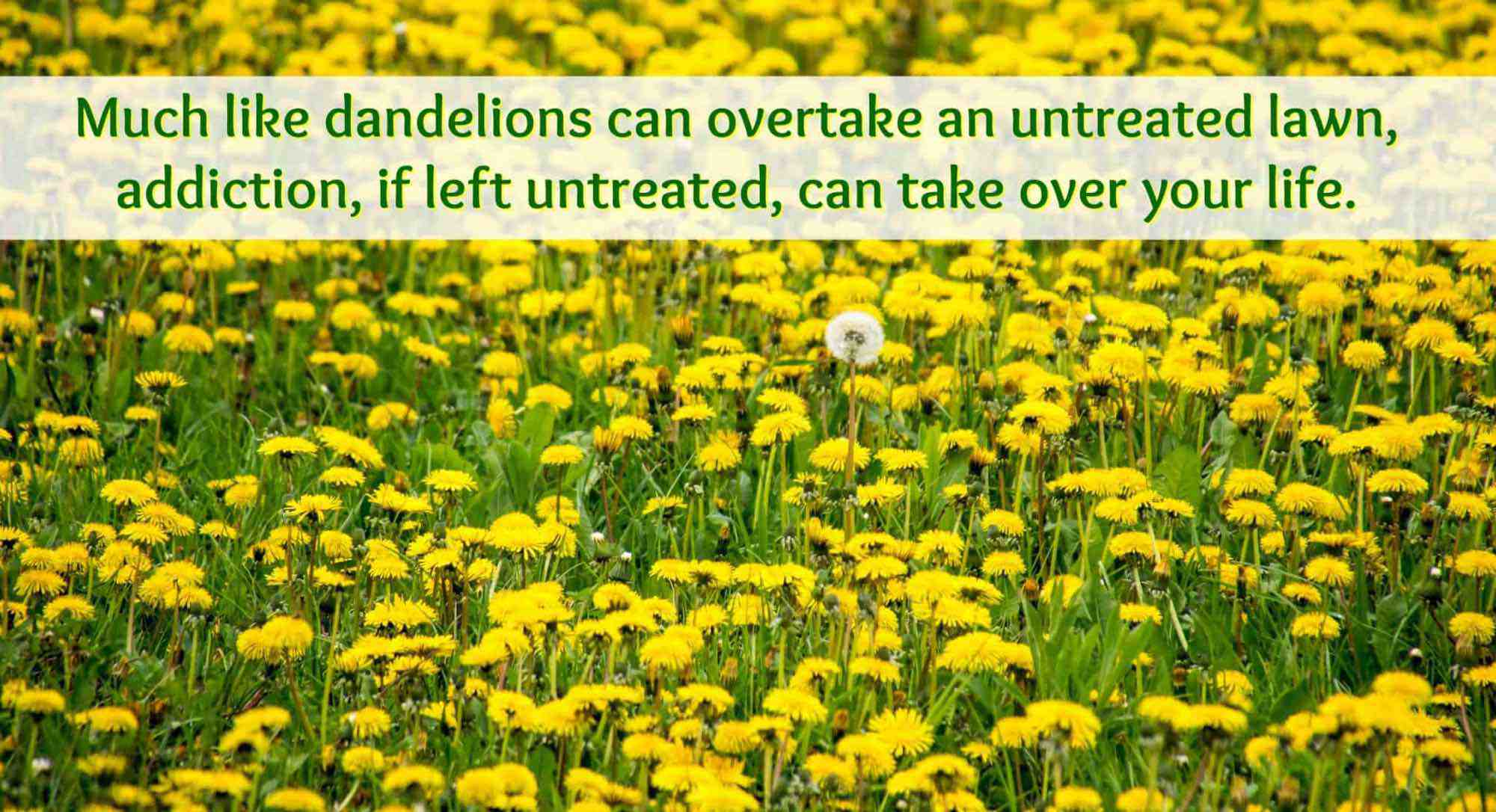 Dandelions overtaking a lawn.