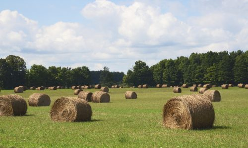 Fresh bales of hay with trees and blue skies